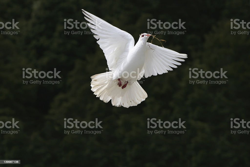 White Dove with straw in mouth stock photo