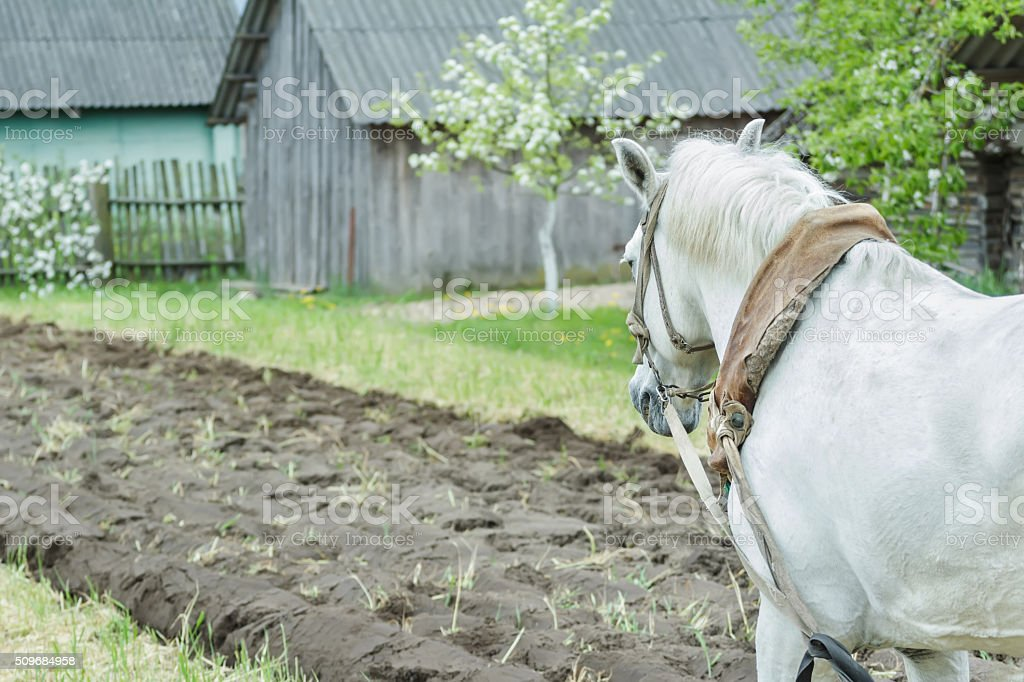 White Draft Horse At Freshly Ploughing Field Furrows Background Stock Photo Download Image Now Istock