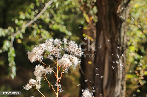White dried flowers. Fluffy umbrella-shaped inflorescence. Plant near the water.