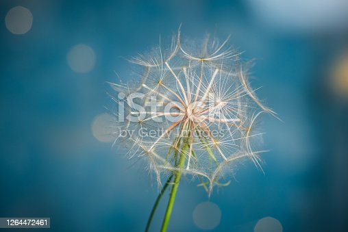 White dry Dandelion flowers on pastel blue background closeup macro shot with copy space