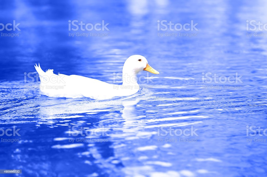 White Duck Floating In Fresh Water stock photo
