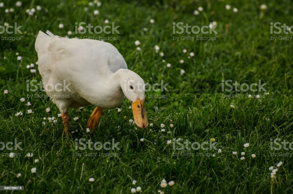 white duck in grass stock photo
