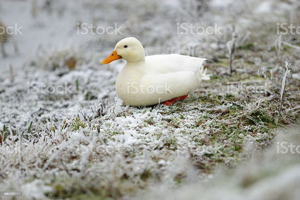 White duck in winter royalty-free stock photo