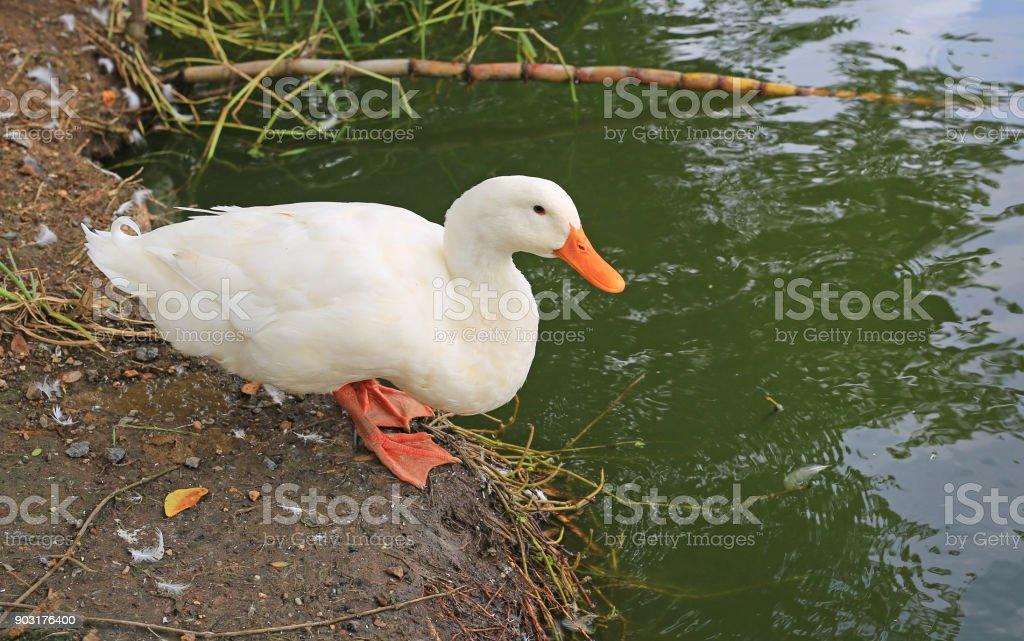 White duck near the pond. stock photo
