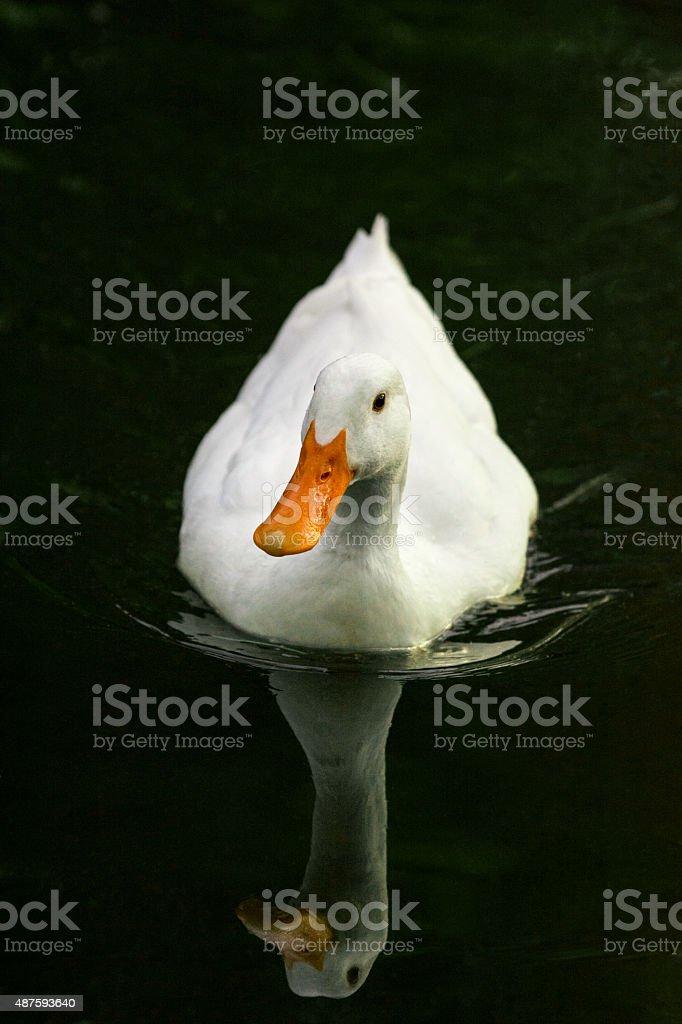 White duck on dark lake at dusk stock photo