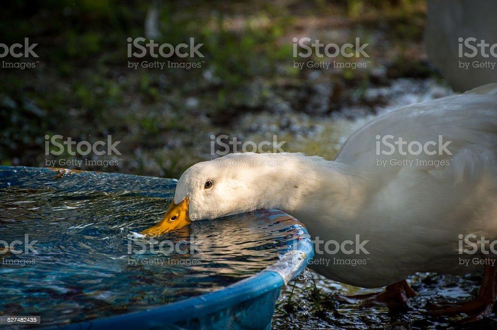 White Duck slurps fresh water stock photo