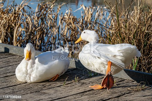 White duck stretching orange legs