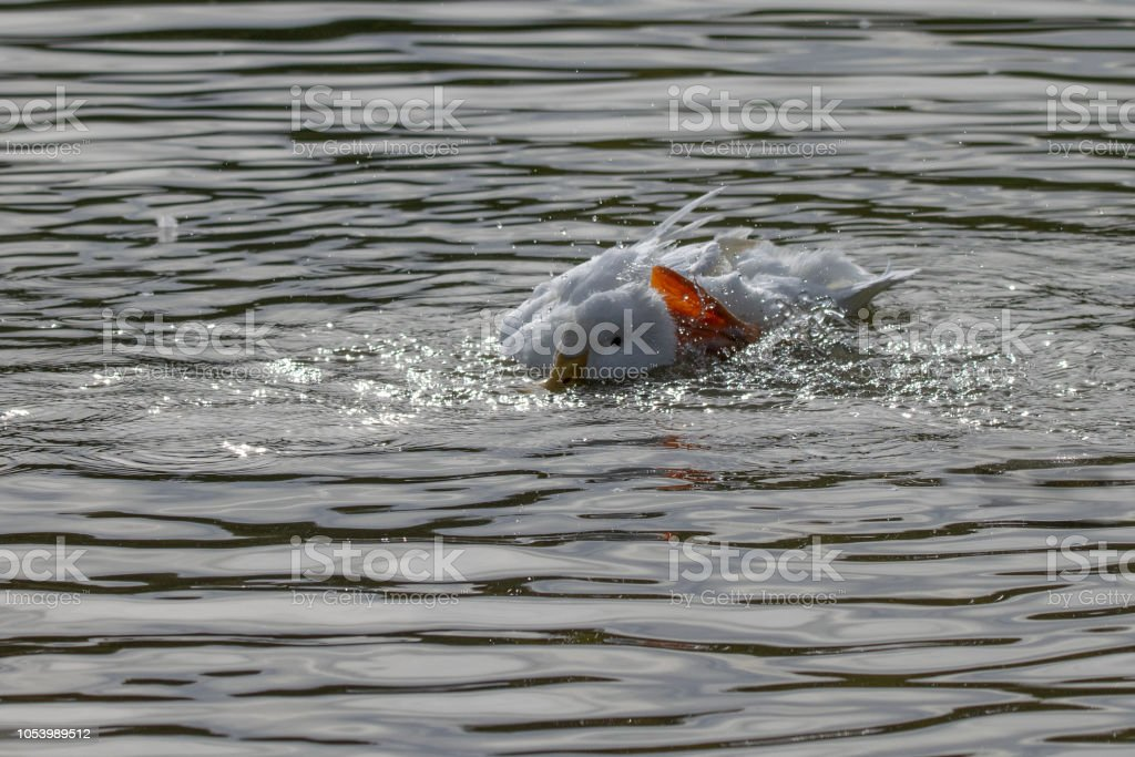 White duck submerged below the surface of the water with a raised webbed foot scratching back of head stock photo