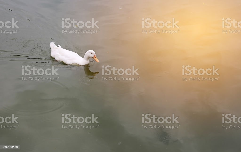 White duck swimming alone in the pond with reflection of sunlight. stock photo
