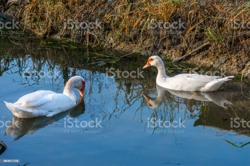 White duck swimming in lake. royalty-free stock photo