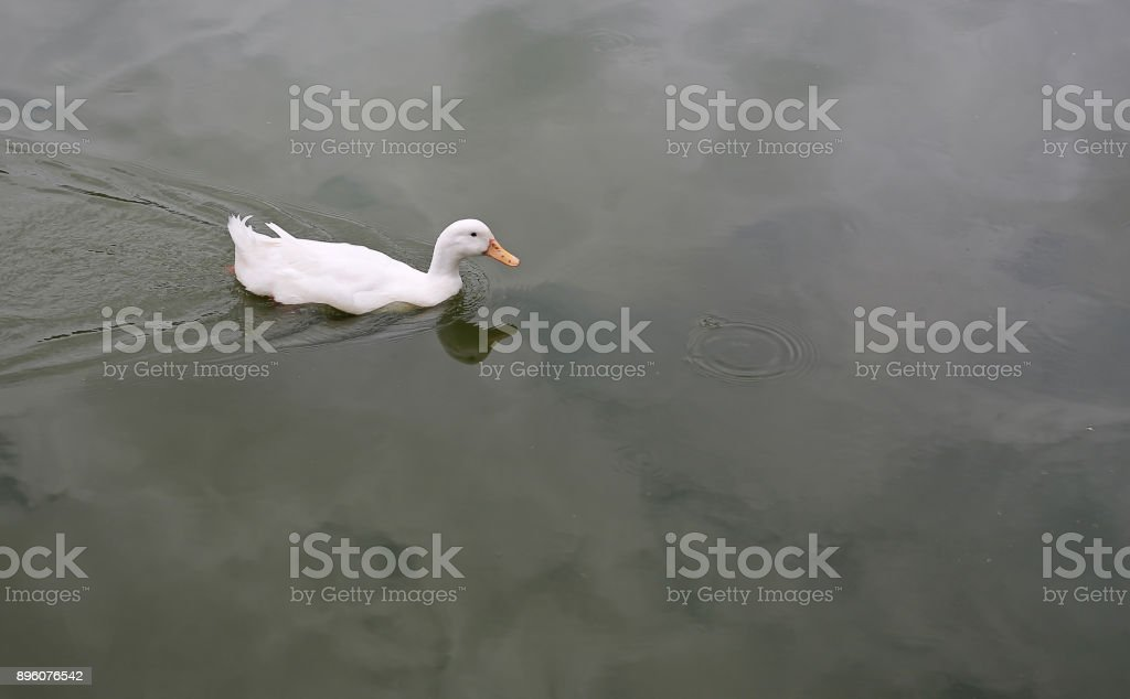 White duck swimming in the pond. stock photo