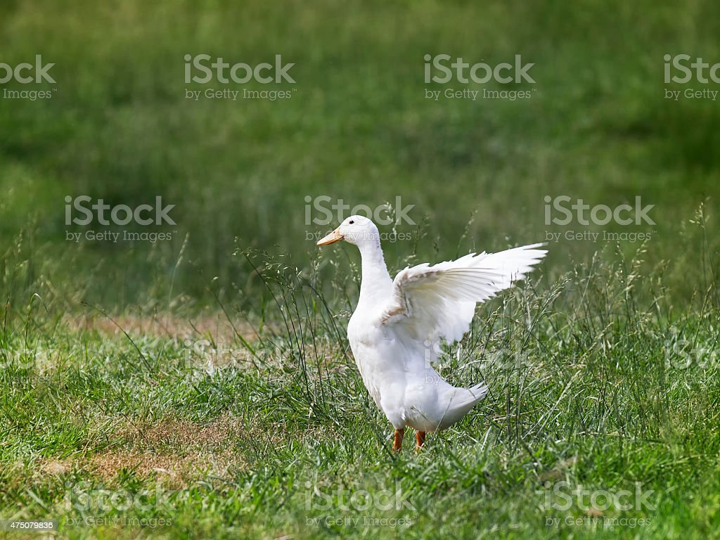 White duck with extended wings stock photo