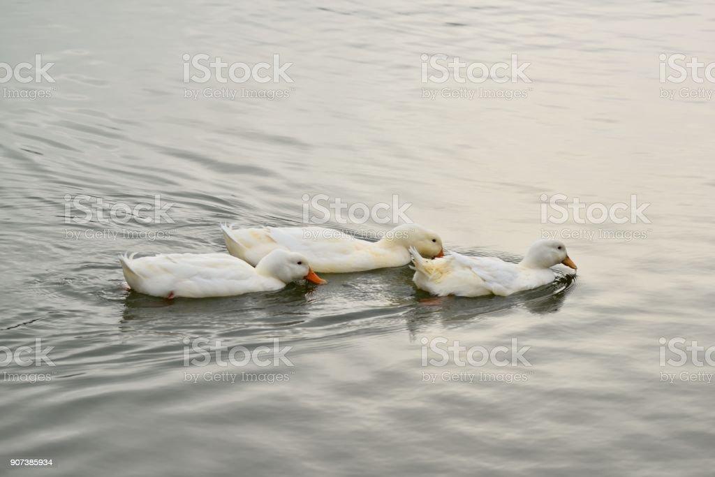 White Ducks Feeding stock photo