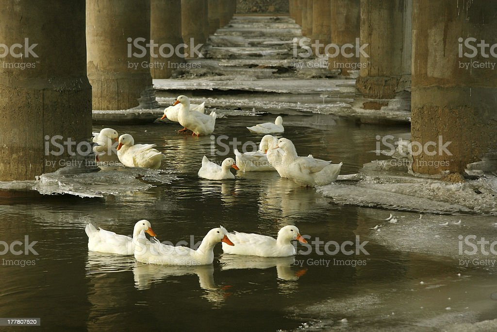 white ducks in ice and water, north china royalty-free stock photo