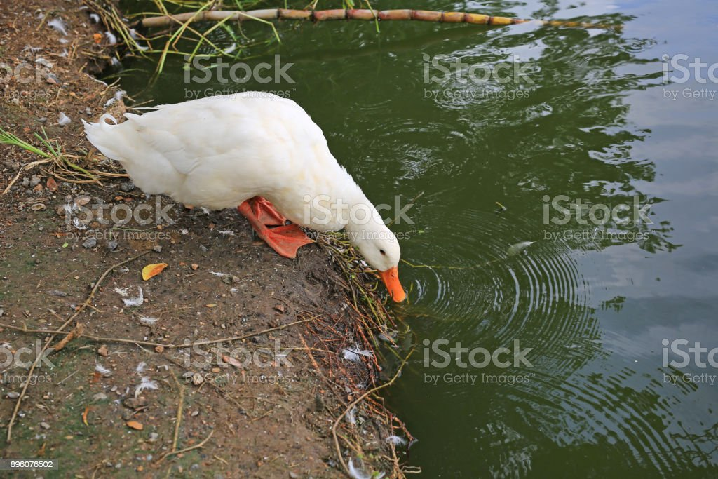 White ducks looking for food near the pond. stock photo
