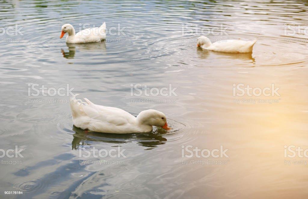 White ducks swimming in the pond. stock photo