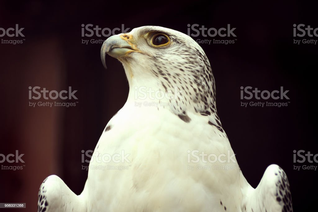 Animal portrait of white eagle on dark background.