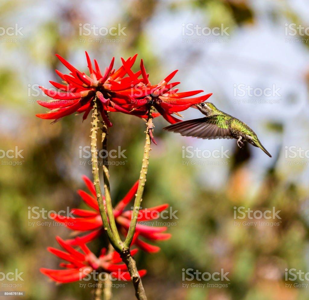 White eared hummingbird. stock photo