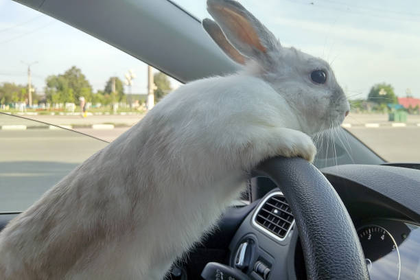 White Easter bunny rides to give gifts. Rabbit in the car at the driver's seat behind the steering wheel. Hare driver. stock photo