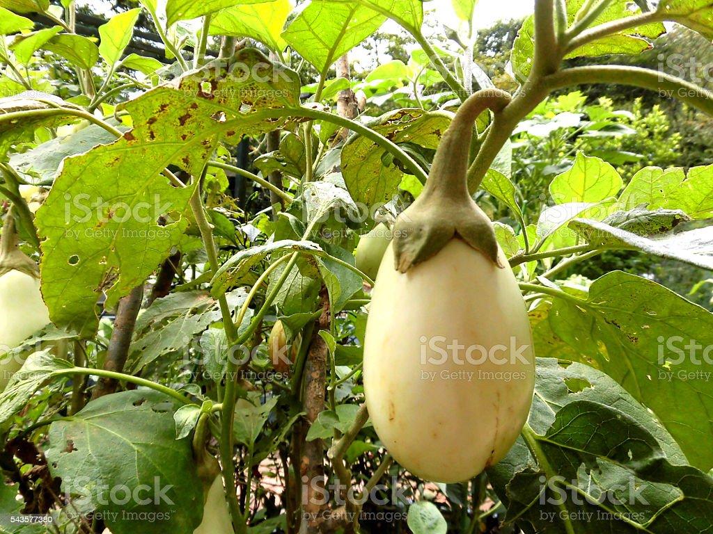 White eggplant vegetable field stock photo