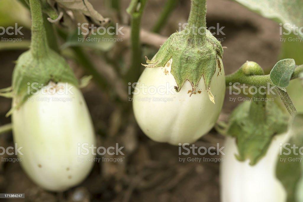 White Eggplants(Solanum Melongena) in Garden stock photo