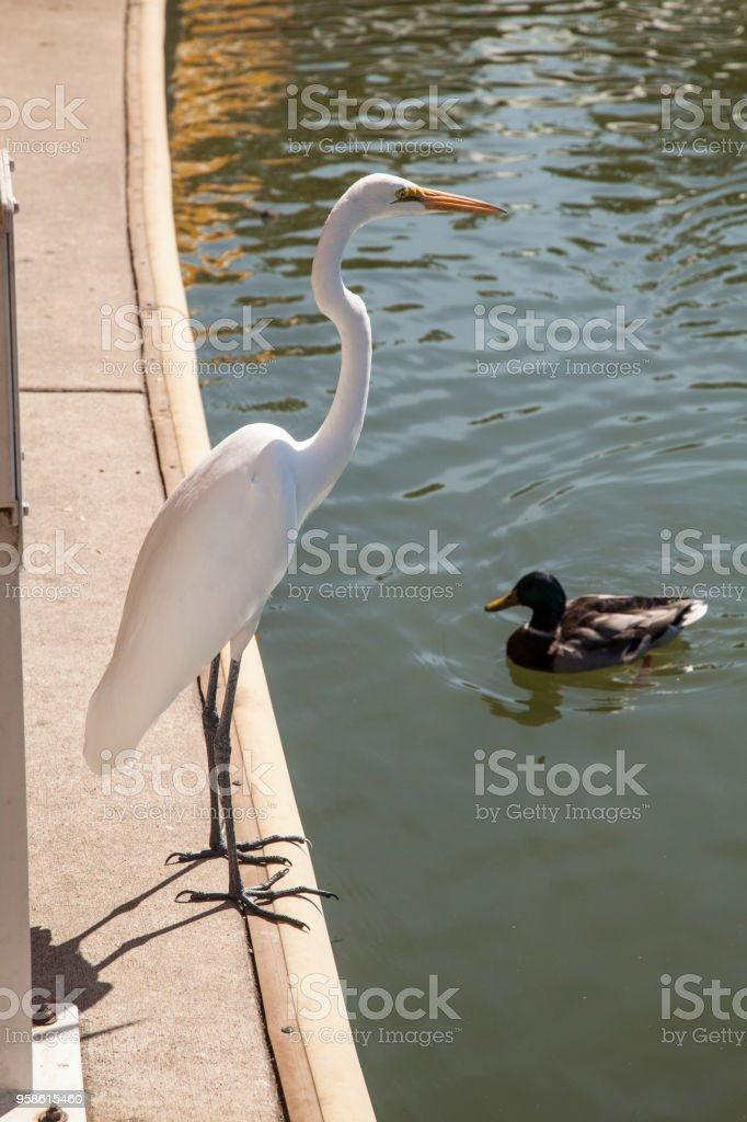 white egret and duck stock photo