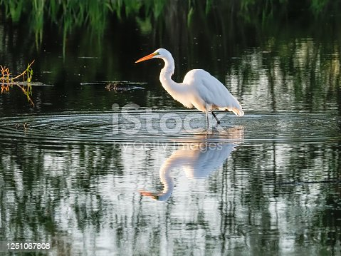 A white egret looking for food in the water. Western Oregon wetland area. Also called by the names common egret, great egret, large egret or a great white heron. Edited.