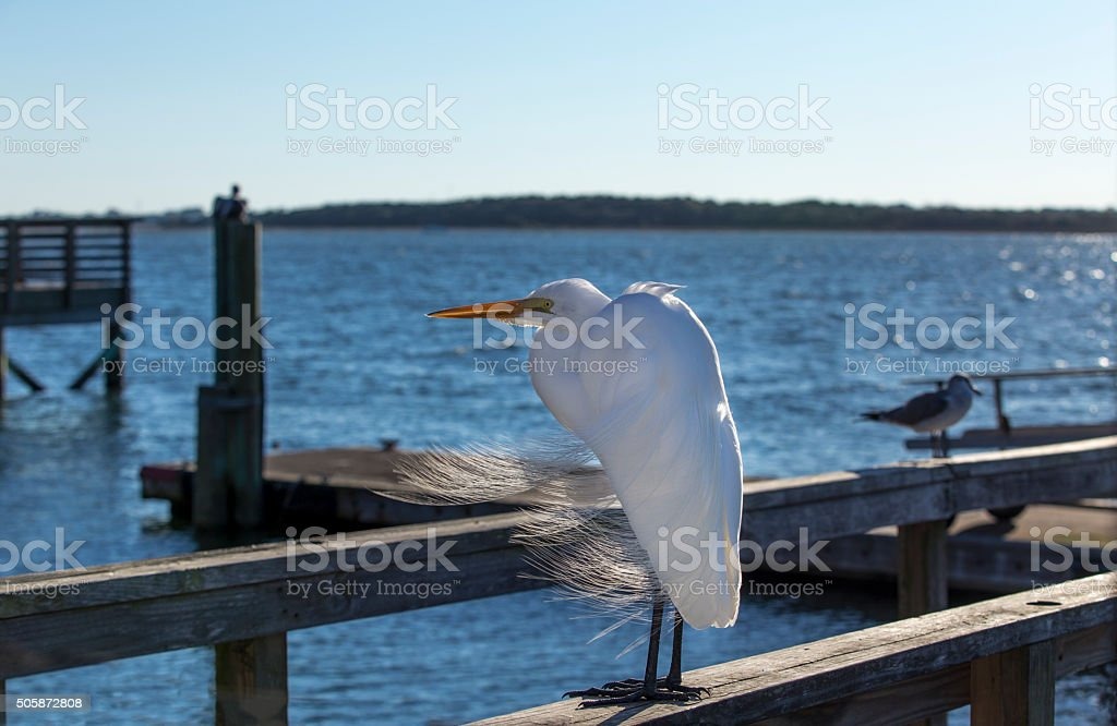 White Egret at Dock stock photo