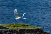White egret, beautiful bird flying away on the pier in Brittany