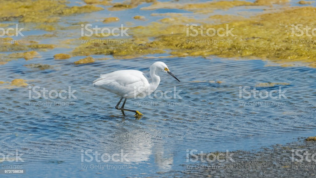 White egret fishing in the lake stock photo