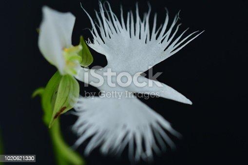 White egret flower pecteilis radiata stock photo more pictures of white egret flower pecteilis radiata stock photo more pictures of august istock mightylinksfo