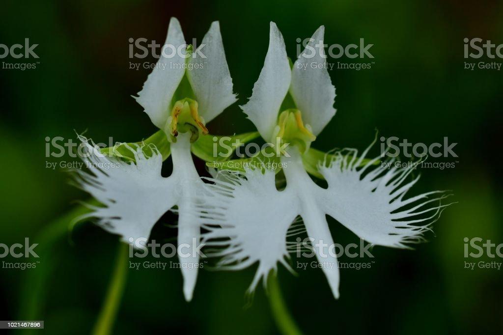 White egret flower pecteilis radiata stock photo more pictures of white egret flower pecteilis radiata royalty free stock photo mightylinksfo