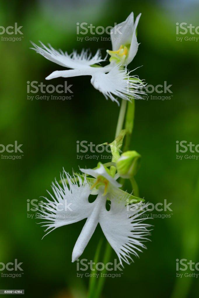 White egret flower pecteilis radiata stock photo more pictures of white egret flower pecteilis radiata royalty free stock photo mightylinksfo Image collections