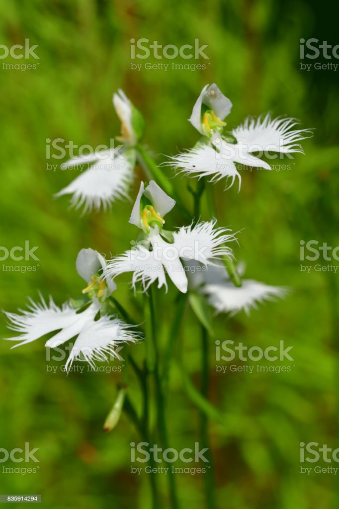 White egret flower pecteilis radiata stock photo istock white egret flower pecteilis radiata royalty free stock photo mightylinksfo Image collections