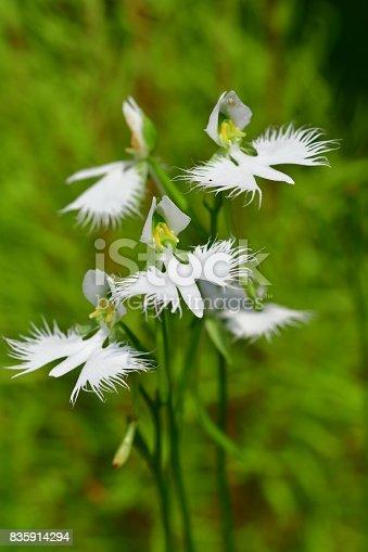 White egret flower pecteilis radiata stock photo istock mightylinksfo