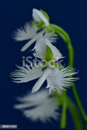 White egret flower pecteilis radiata stock photo more pictures of white egret flower pecteilis radiata stock photo more pictures of august istock mightylinksfo Image collections