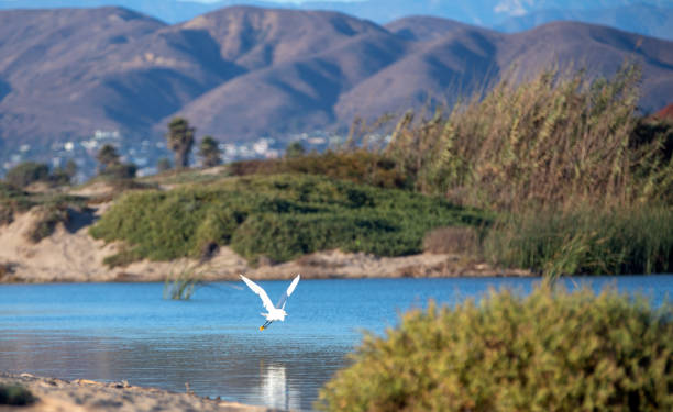 White Egret flying over the mouth of Santa Clara river at Ventura beach in California United States stock photo