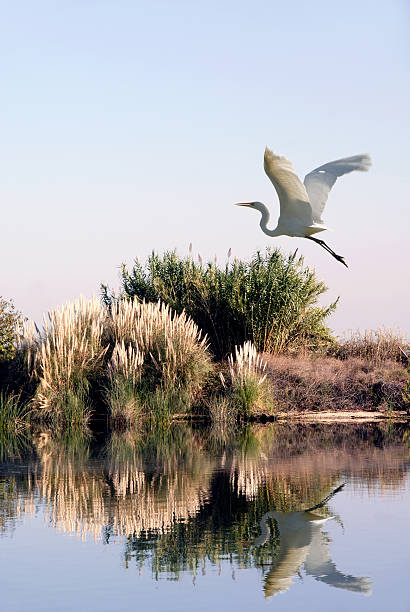 White Egret In Flight  lake waterfowl stock pictures, royalty-free photos & images
