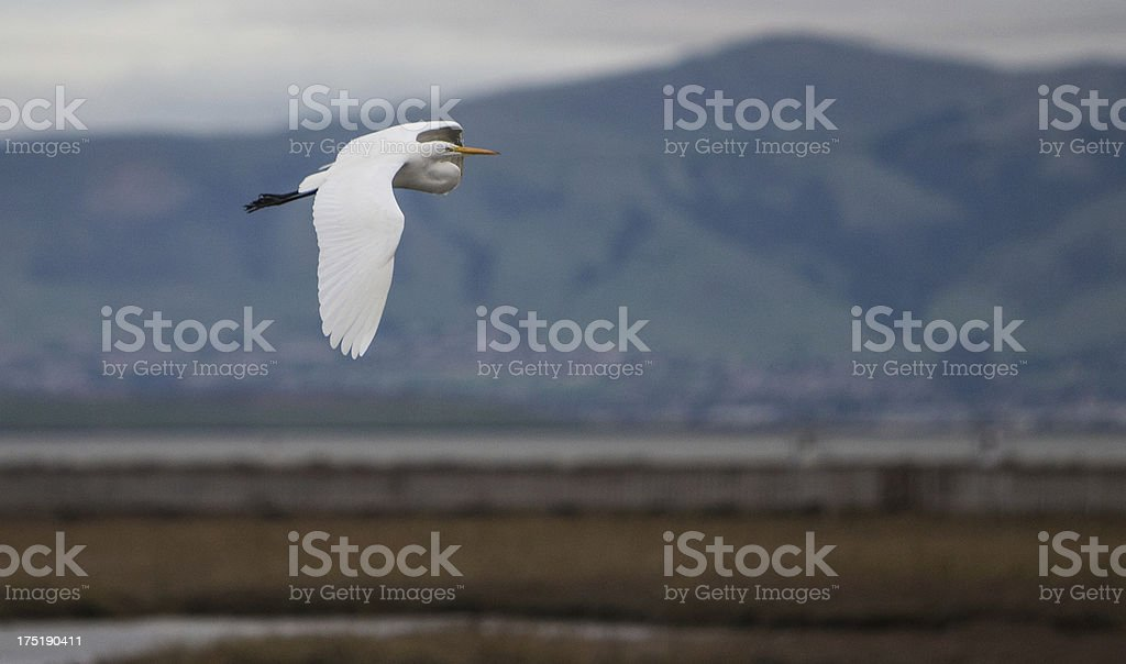 White Egret in Flight royalty-free stock photo