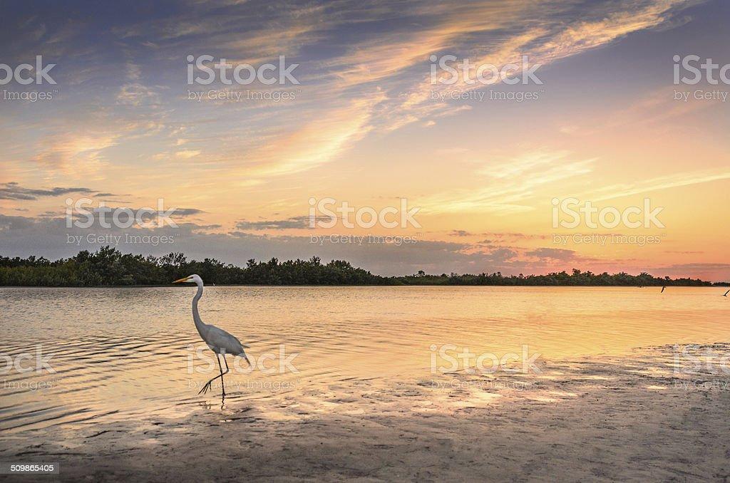 White Egret in Sunset Sunset at Tigertail beach, Marco Island, Florida Animal Wildlife Stock Photo