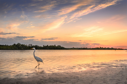 White Egret In Sunset Stock Photo - Download Image Now