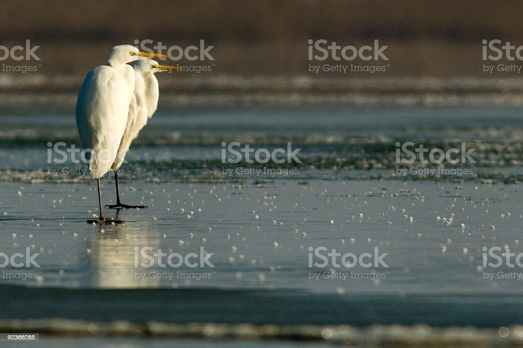 White egret on ice royalty-free stock photo