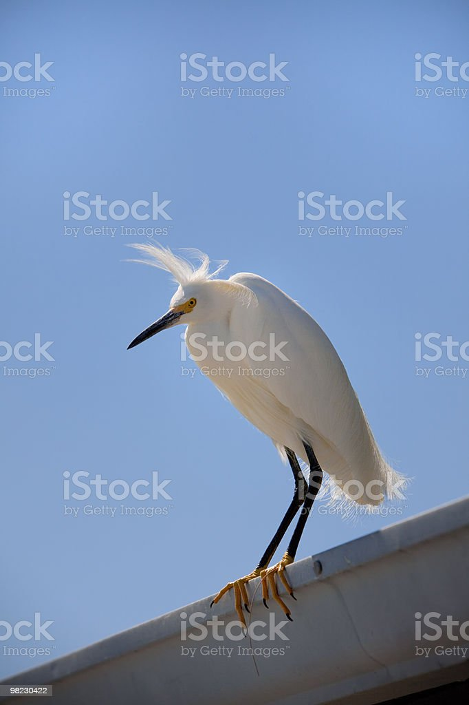 White Egret on roof with blue sky behind royalty-free stock photo