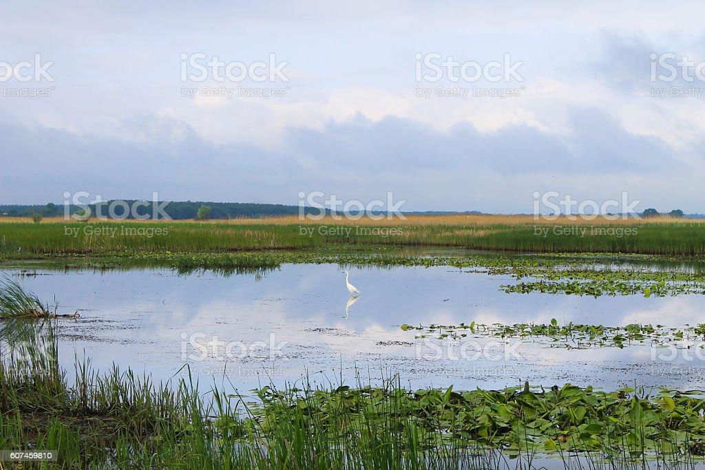 White egret on the river stock photo