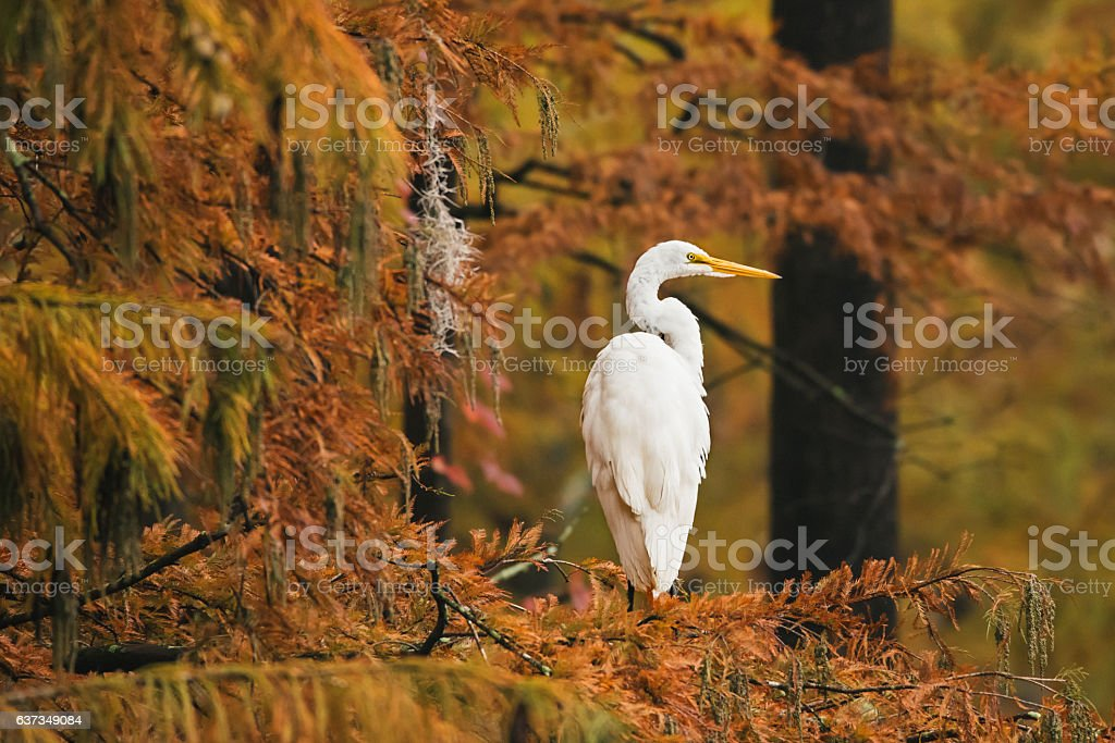 White Egret Perched on Autumn Tree Branch stock photo