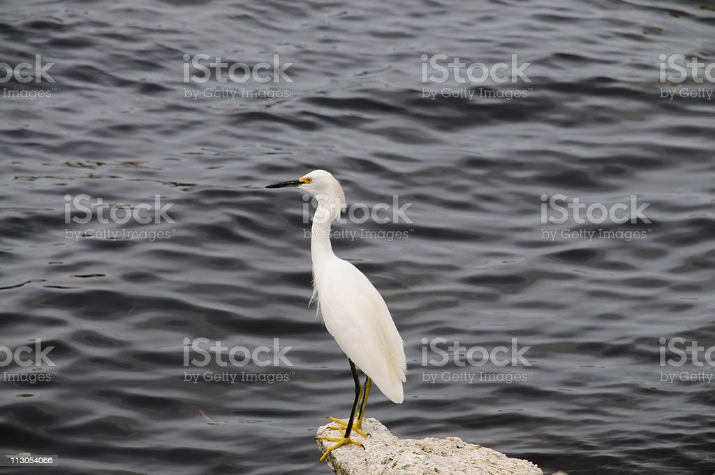 White Egret royalty-free stock photo