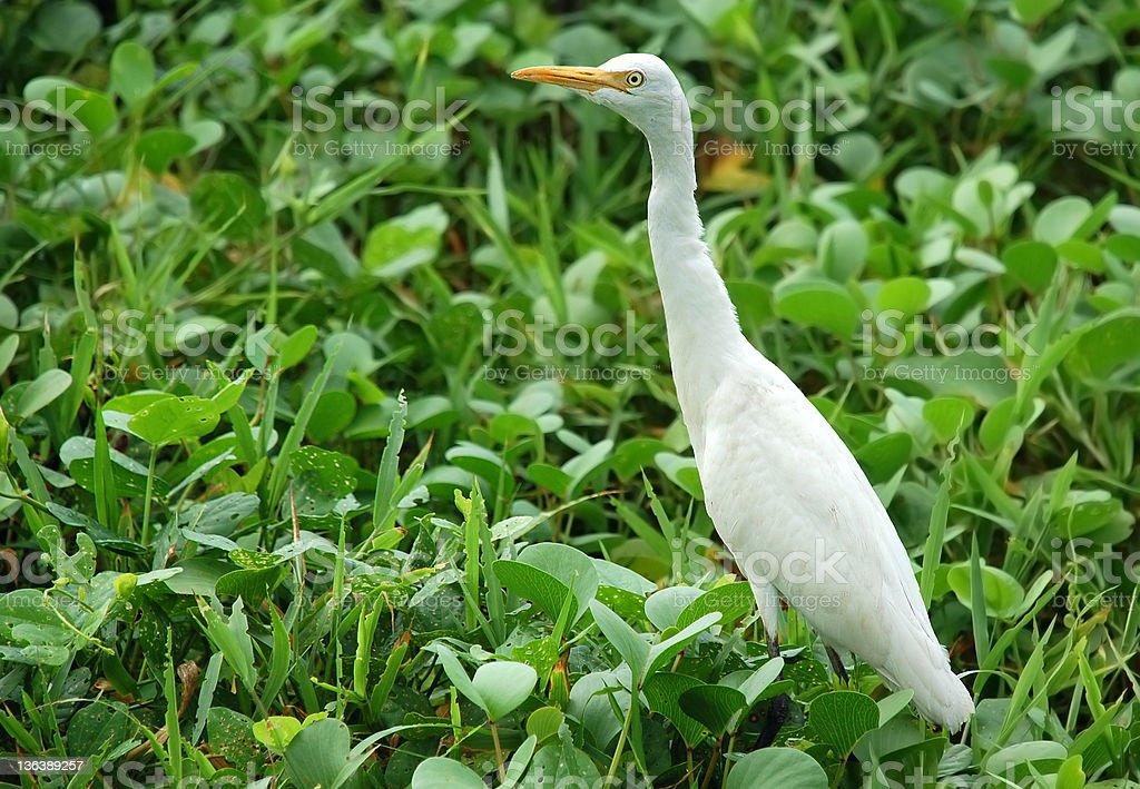 White Egret stock photo