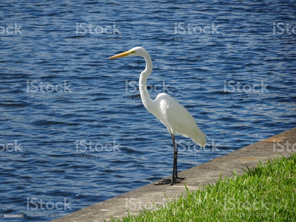white egret standing on a sea wall stock photo