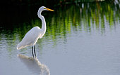 great white egret wades in wetland pond in south florida