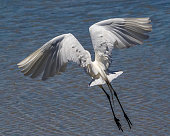 Flying Great Egret rear view showing beauty of its plumage